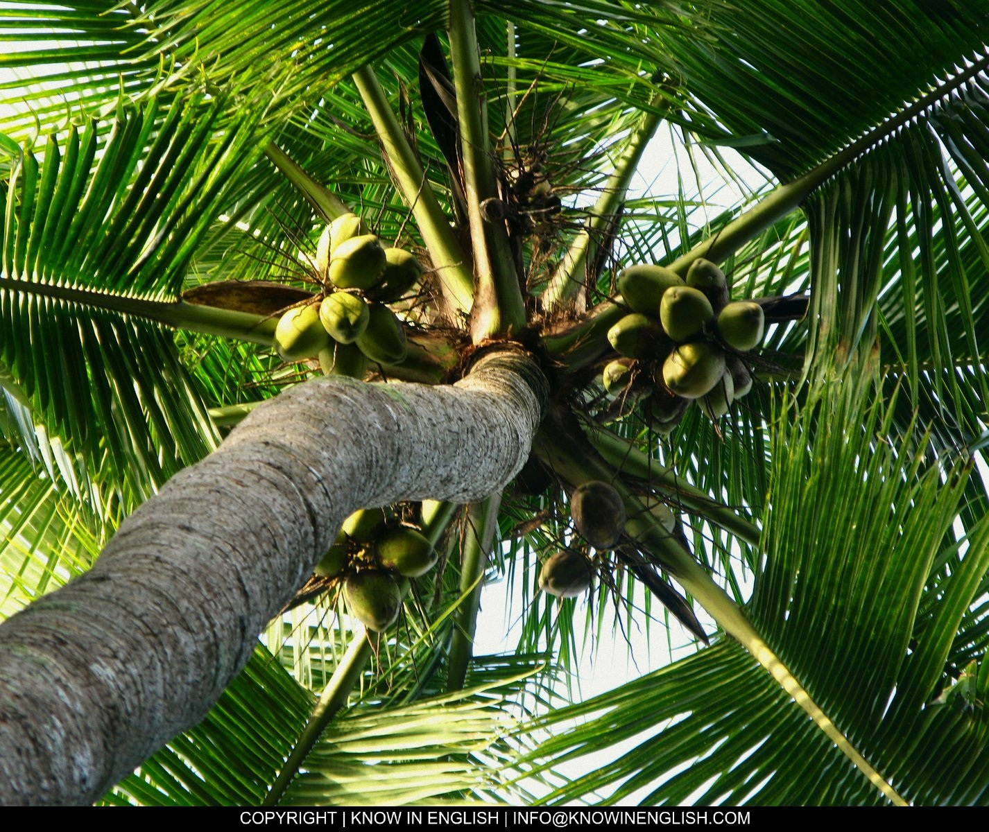 Info About Coconut Tree